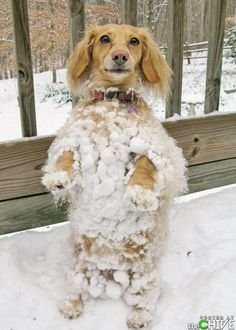 The Abominable Snow-Dachshund! Baby Dogs, Pet Dogs, Dogs And Puppies, Dog Cat, Doggies, Pet Pet, Dachshund Dog, Gato Animal, Mundo Animal
