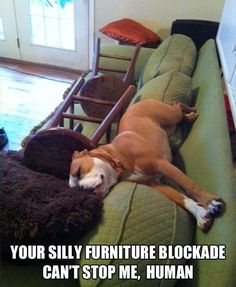Silly Furniture Blockade..this is my dog