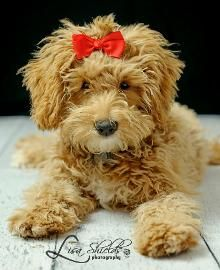 Goldendoodles! So cute looks like a stuffed animal!!!