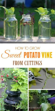 It's easy to grow sweet potato vine by taking cuttings from existing plants. This is an easy way for beginner gardeners to get free plants. for beginners potatoes It's easy to grow Sweet Potato Plant Vine, Sweet Potato Vines, Gardening For Beginners, Gardening Tips, Growing Sweet Potatoes, Free Plants, Sun Plants, Shade Plants, Garden Plants