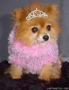 Pink Pomeranian