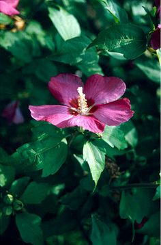 Rose mallow 'Woodbridge'. Planted next to fence, side of gravelbed, near to house.RHS award.
