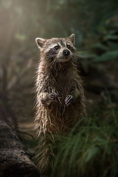 Swamp Raccoon, Natural World Finalist