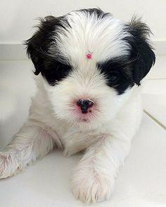#lhasashihtzu #shihtzulhasaapso #shihtzulhasaapsomix #shihtzulhasa #lhasaapsoshihtzu #pandora #dog #puppy #pup  #cute  #instagood #dogs_of_instagram #pet  #petstagram #petsagram #photooftheday #dogsofinstagram #ilovemydog #instagramdogs #nature #dogstagram #dogoftheday #lovedogs #lovepuppies #catioro #catiorineo #adorable #doglover #instapuppy #instadog