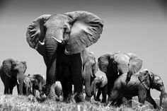 Wildlife in black-and-white by Beverly Joubert Herd Of Elephants, Save The Elephants, Endangered Elephants, Elephant Family, Elephant Love, Most Beautiful Animals, Beautiful Creatures, Elephants Never Forget, Asian Elephant