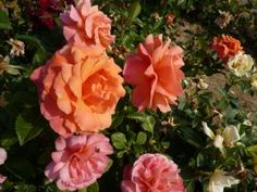 Easy Does It  3' x 3' z5 Northland Rosarium - Roses by Class