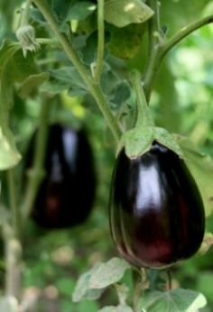 Container Gardening For Beginners Everything About Growing EGGPLANT Find Out all about growing eggplant in a yard or container vegetable garden Find out the best ways to plant care for and harvest eggplants when vegetable gardening. Indoor Vegetable Gardening, Home Vegetable Garden, Fruit Garden, Edible Garden, Organic Gardening, Harvest Garden, Vegetable Bed, Organic Farming, Organic Vegetables