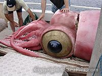 1000+ images about Colossal Squid
