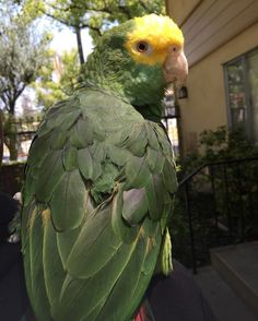 Beautiful pic of my beautiful   taking her out for some fresh air!!! #doubleyellowheadedamazon #parrot #parront #iphone6 #mypetisbetterthanyours #amazon #troublemaker by rubeastmode http://www.australiaunwrapped.com/