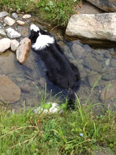 Our Border Collie getting a drink the only way he knows how - submersion!