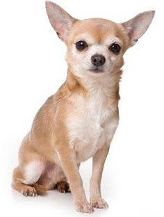I like this pose.  The Chihuahua appears to be confident, self assured, and just a little bit inquisitive.  Not afraid, not cutsey; attentive and alert.  But not suffering foolishness and costumery.