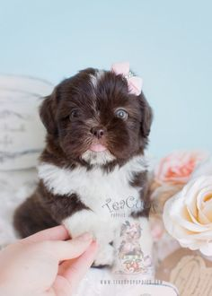 Chocolate Shih Tzu Puppy by www.TeaCupsPuppies.com!  #shihtzu #puppy #puppies