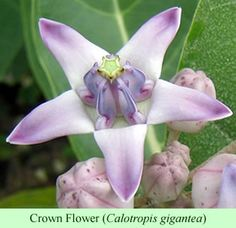 Calotropis gigantea...Crown Flower-attracts Monarch butterflies