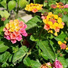 Lantana — Green Acres Nursery & Supply Bloom, Plants, Attract Butterflies, Lantana, Showy Flowers, How To Attract Birds, How To Attract Hummingbirds, Perennials, Lantana Plant