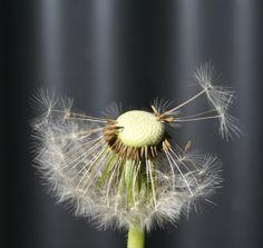 Fotografie Blume Natur Naturfotografie Löwenzahn von MoniGossner, €17.50