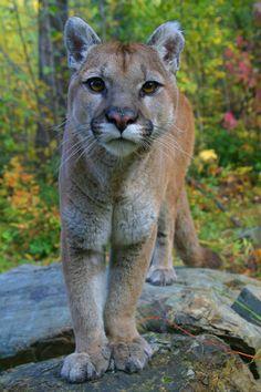 Mountain Lion, Puma Concolor, Columbia Falls