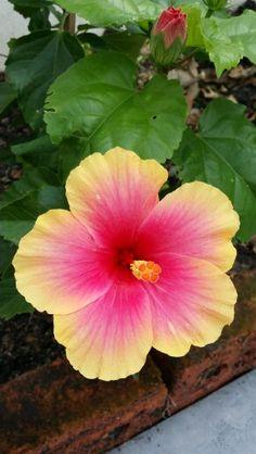 Bunga Raya ~ Hibiscus