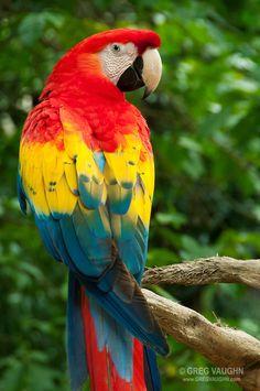 Scarlet Macaw at Xcaret eco-archeological park, Riviera Maya, Mexico.