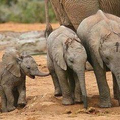 I love them..!! Credit : @dennisfromdarling - Fun in the soft sand . #elephant #elephants #elephantlove