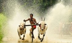 Bull surfing in India.