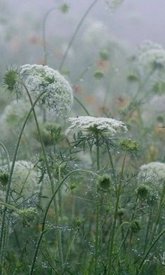 Queen Anne's Lace In the Rain -my favorite wild flower
