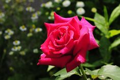 Any discerning gardener knows that a world-class rose bush will distinguish a home. Its elegant stems, vibrant green leaves and luxurious blooms seem like the work of a seasoned expert. But most gardeners also assume that such roses are out of their reach – unless they commit to frequent feeding, pest removal and painstaking care. …