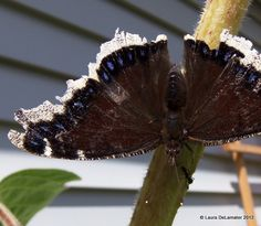 Mourning Cloak butterfly and an Ant friend chilling on a sunflower stalk.