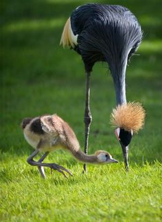 African Black Crowned Crane (Balearica pavonina) and her chick. This species inhabits dry savannah… - #birds