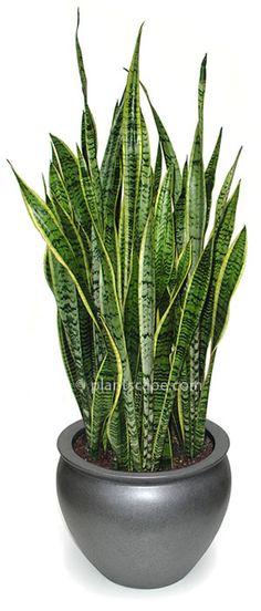 bogenhanf indoor pflanzen pflege tipps pinterest w stenpflanzen zimmerpflanzen und bl tter. Black Bedroom Furniture Sets. Home Design Ideas