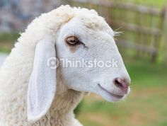sheep face portrait close up eye - Google Search