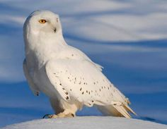 baby snowy owls with blue eyes - Google Search