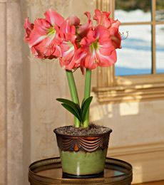 White flower farm gift certificates are the ideal gift for gardeners pink amaryllis great gifts for gardeners white flower farm mightylinksfo Images