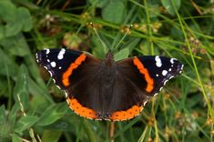 red admiral - Google Search