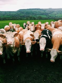 Cows | VSCO Grid