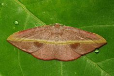 Geometrid Moth (Ennominae, Geometridae)