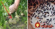 Jedna rada pre všetkých, ktorým sa v záhrade premnožili mravce: Toto som vyskúšala len tento rok a zatiaľ funguje skvele!