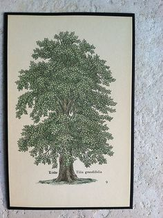 Antique Botanical Tree Print Forrest Linden Lumber Wood Roots Leaves Branches 9