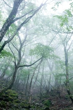 Trees in the forest mist.