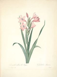gravures de fleurs par Redoute - Gravures de fleurs par Redoute 085 glayeul…