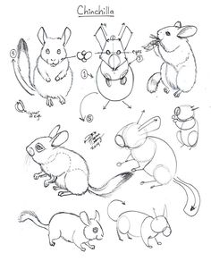 Draw Chinchilla by Diana-Huang on DeviantArt