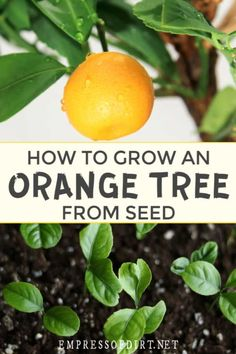 Use this easy method to use the seeds from an orange to grow your own houseplant.