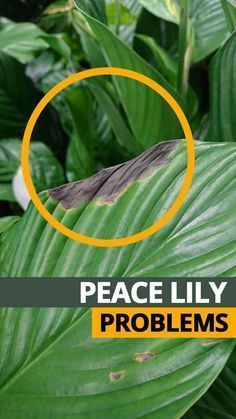 Peace Lily Plant Care, Peace Plant, Peace Lily Flower, Plante Anthurium, Lilly Plants, Mint Plants, Tropical Plants, Shade Plants, Tropical Flowers