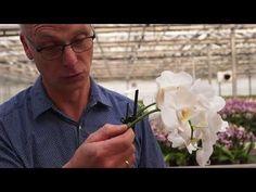 Wie bekomme ich meine Orchidee zum Blühen - YouTube