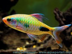 Jack dempsey cichlid i have 2 very cool fish i heart for Freshwater schooling fish
