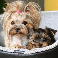 Find out if you're ready to adopt a Yorkshire Terrier puppy! The best Yorkshire Terrier images. I love these gorgeous dogs. Yorky Terrier, Yorshire Terrier, Terrier Rescue, Bull Terriers, Chien Yorkshire Terrier, Yorkshire Terrier Haircut, Yorkies, Yorkie Puppy, Maltipoo