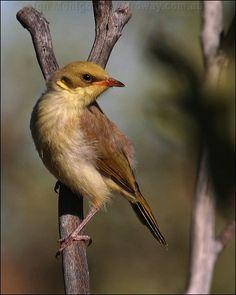 Grey-fronted Honeyeater (Lichenostomus plumulus) - Australia