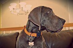Blue Great Dane puppy (Luke 5 months)