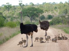 Ostriches - the only bird still around that is from pre-historical time