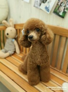 Beautiful Picture of A Toy Poodle with sweet clip style.