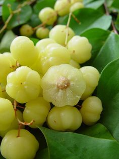Grosella, tart berry fruit. My mom used to make a delicious 'dulce' with them. It was awesome! Rico, rico, rico! She called them cerezas agrias.